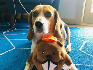 A dog with a stuffed beaver.